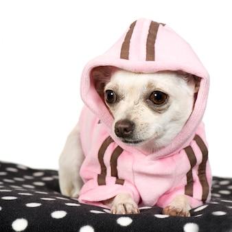 Chihuahua com 1 ano. retrato de cachorro isolado