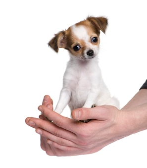 Chihuahua com 3 mariposas. retrato de cachorro isolado