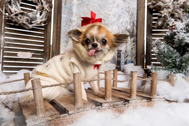 Chihuahua com a língua para fora, sentado em uma ponte em um cenário de inverno