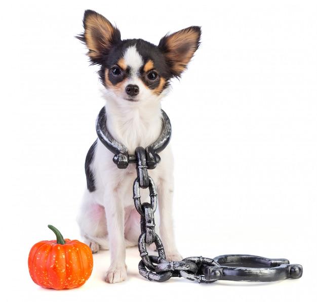 Chihuahua com algemas no pescoço ao lado de uma mini abóbora para o halloween