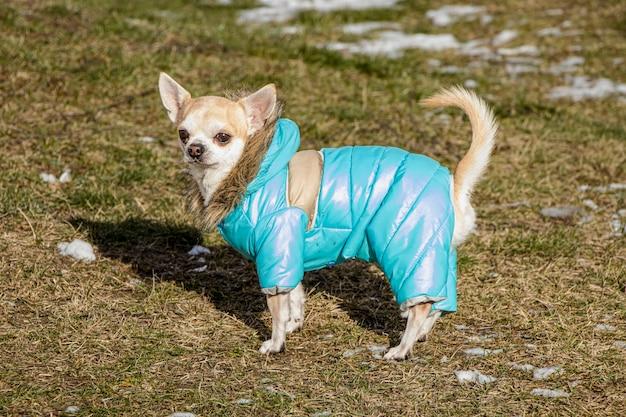 Chihuahua com roupas de inverno. cão a passear. cachorrinho fofo. amigo de confiança.