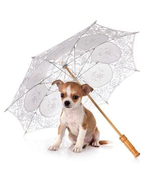 Chihuahua com um guarda-chuva