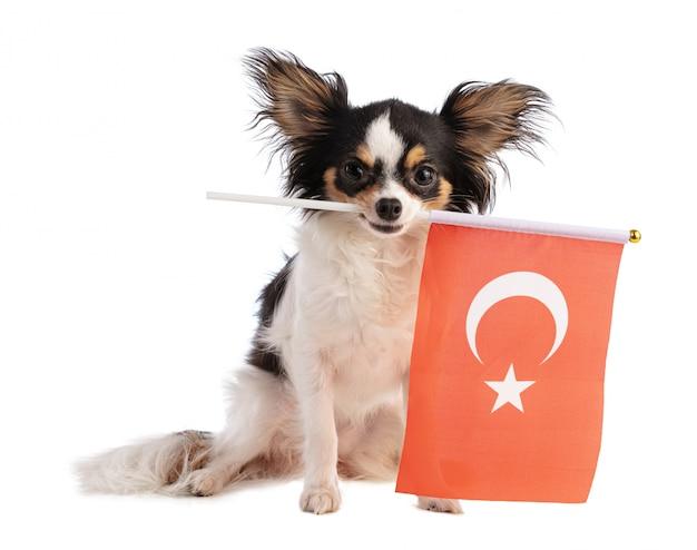 Chihuahua com uma bandeira da turquia