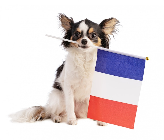 Chihuahua com uma bandeira francesa