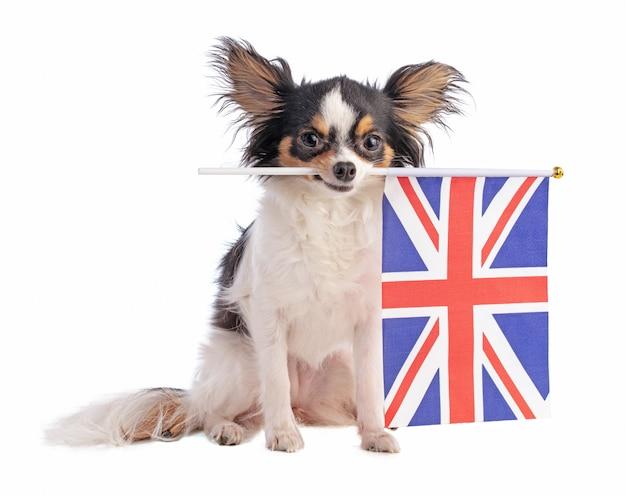 Chihuahua com uma bandeira inglesa