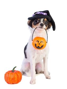 Chihuahua com uma caixa de halloween com uma abóbora