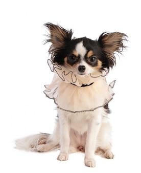 Chihuahua com uma gola de renda
