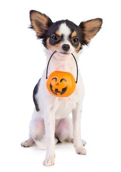 Chihuahua com uma lanterna de halloween