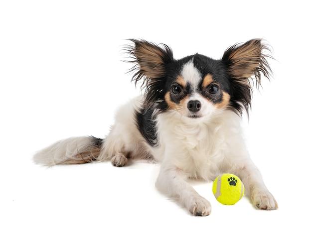 Chihuahua de cabelo comprido com minibolinha de tênis amarela