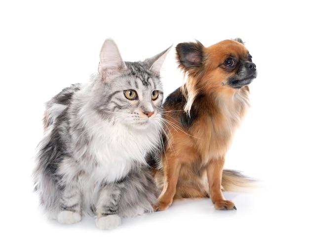 Chihuahua de cabelo comprido e maine coon