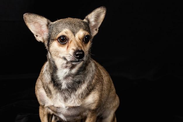 Chihuahua de cachorro fofo gordo sobre o fundo preto, ela quer fazer dieta olho olhar para o proprietário