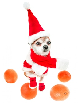 Chihuahua de sorriso do cão no traje de papai noel com as laranjas isoladas no branco.