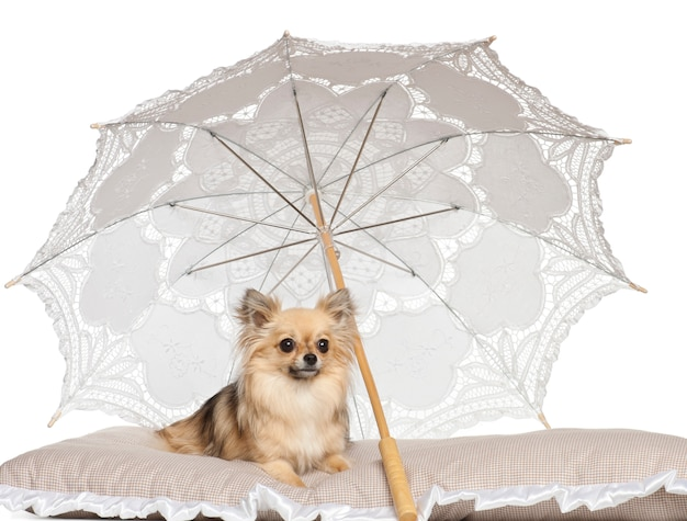 Chihuahua deitado sob o guarda-sol contra fundo branco