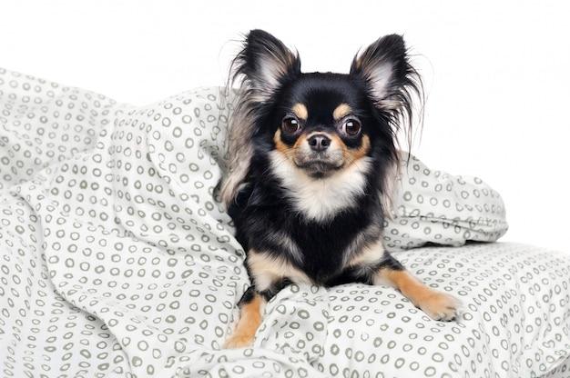 Chihuahua dormindo na cama