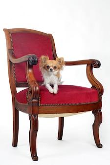 Chihuahua e cadeira antiga