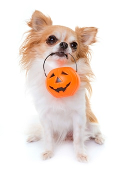 Chihuahua e dia das bruxas