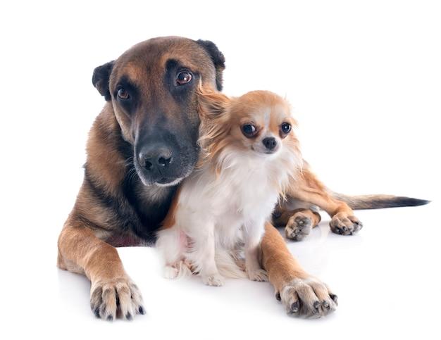 Chihuahua e malinois