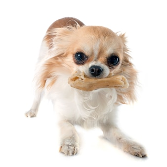 Chihuahua e osso
