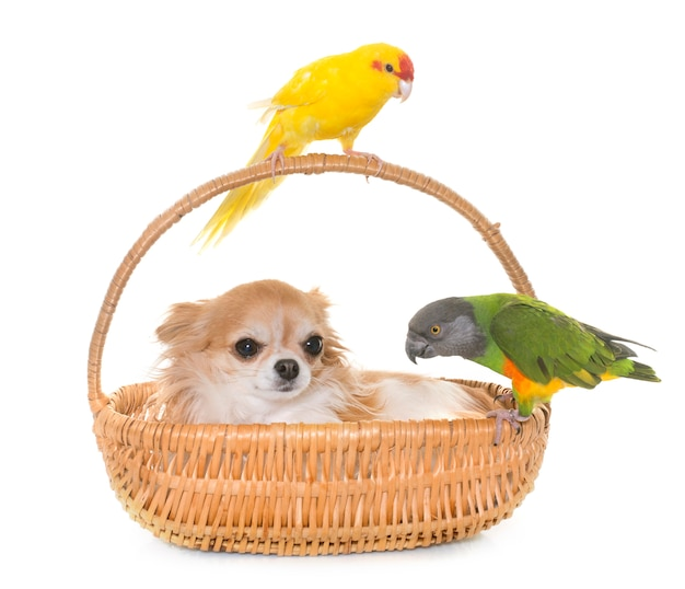 Chihuahua e pássaros