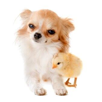 Chihuahua e pintinho