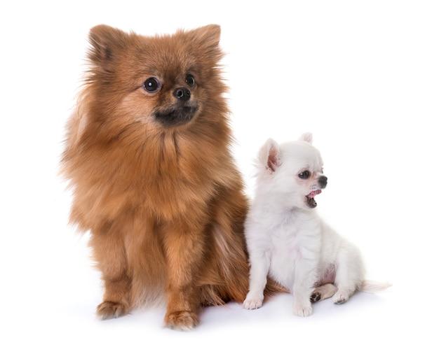 Chihuahua e spitz