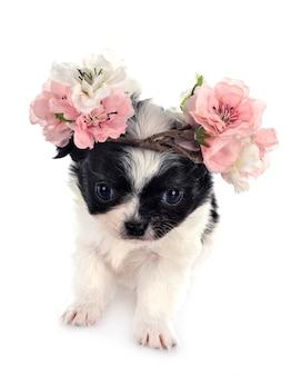 Chihuahua em estúdio