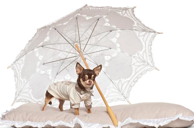 Chihuahua em pé sob o guarda-sol contra fundo branco