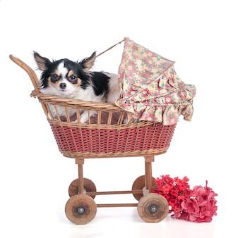Chihuahua em um pequeno carrinho de bebê vintage na parede branca