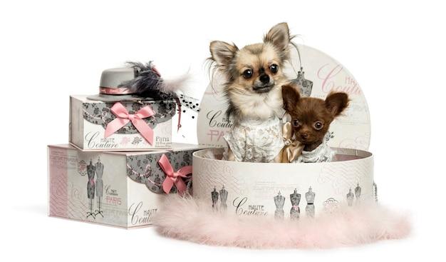 Chihuahua em uma caixa de roupas isolada no branco