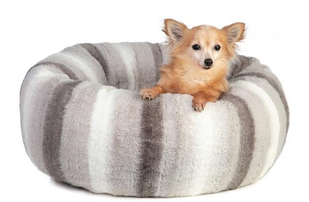Chihuahua em uma grande almofada cinza e macia