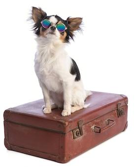 Chihuahua em uma mala com óculos