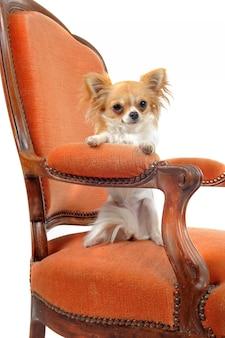 Chihuahua em uma poltrona antiga