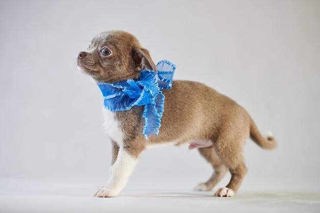 Chihuahua filhote de estimação com um cachecol