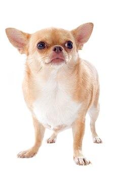 Chihuahua gorda