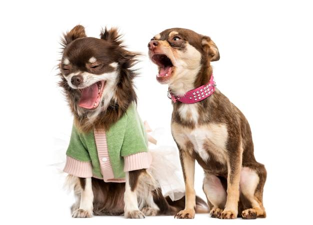 Chihuahua gritando na orelha de um chihuahua vestido