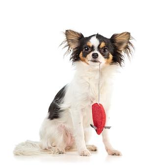 Chihuahua jovem com um brinquedo de rato vermelho em uma superfície branca