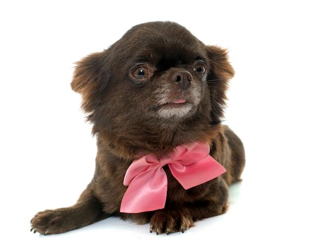 Chihuahua marrom adulto