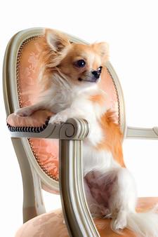 Chihuahua na cadeira antiga
