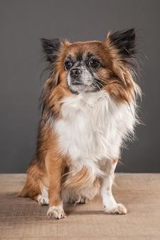 Chihuahua na mesa de madeira