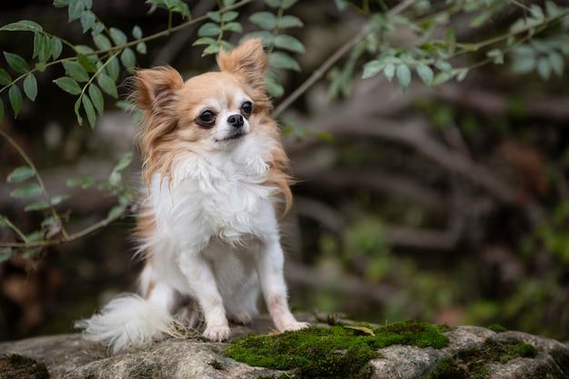 Chihuahua na natureza