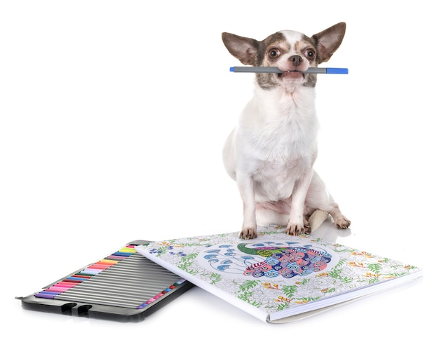Chihuahua no estúdio