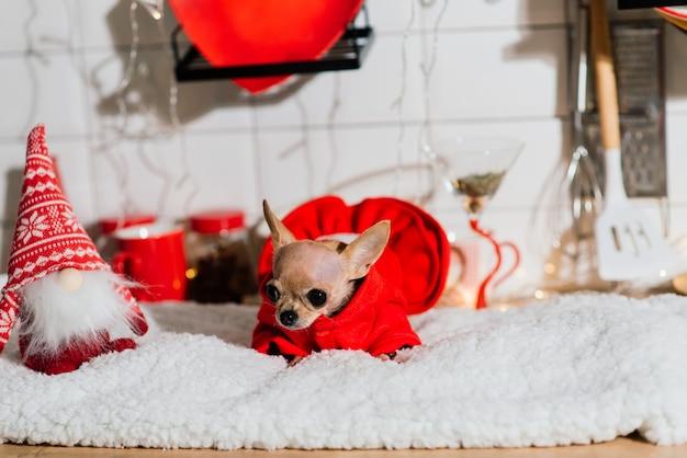 Chihuahua no interior do ano novo. cão pequeno encontra-se na mesa. em torno de brinquedos de natal, decorações.