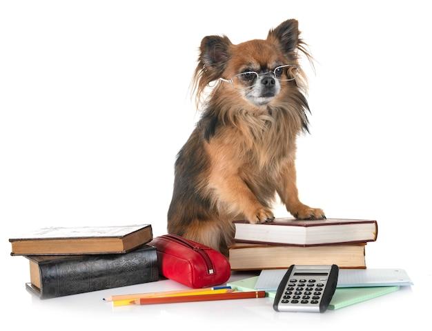 Chihuahua para a escola