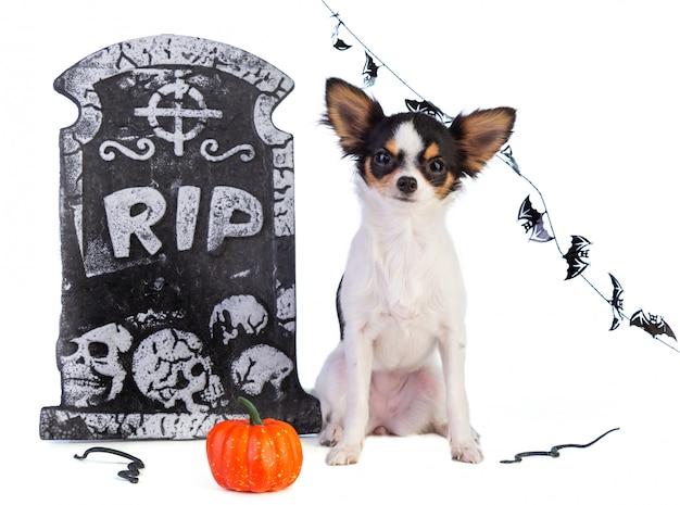 Chihuahua para halloween com decoração de lápide