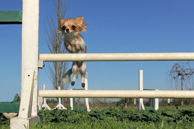 Chihuahua pulando na competição de agilidade