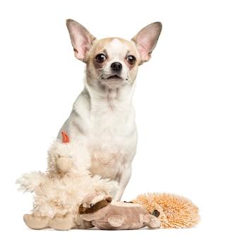 Chihuahua sentado atrás de brinquedos de pelúcia isolados no branco