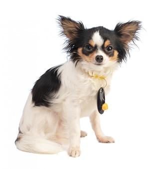 Chihuahua sentado com um clicker em volta do pescoço