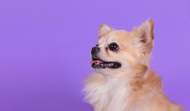 Chihuahua sentado e olhando para cima
