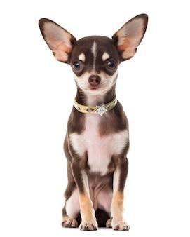 Chihuahua sentado em frente a uma parede branca