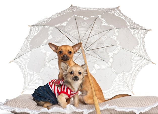 Chihuahua sentado sob o guarda-sol contra fundo branco